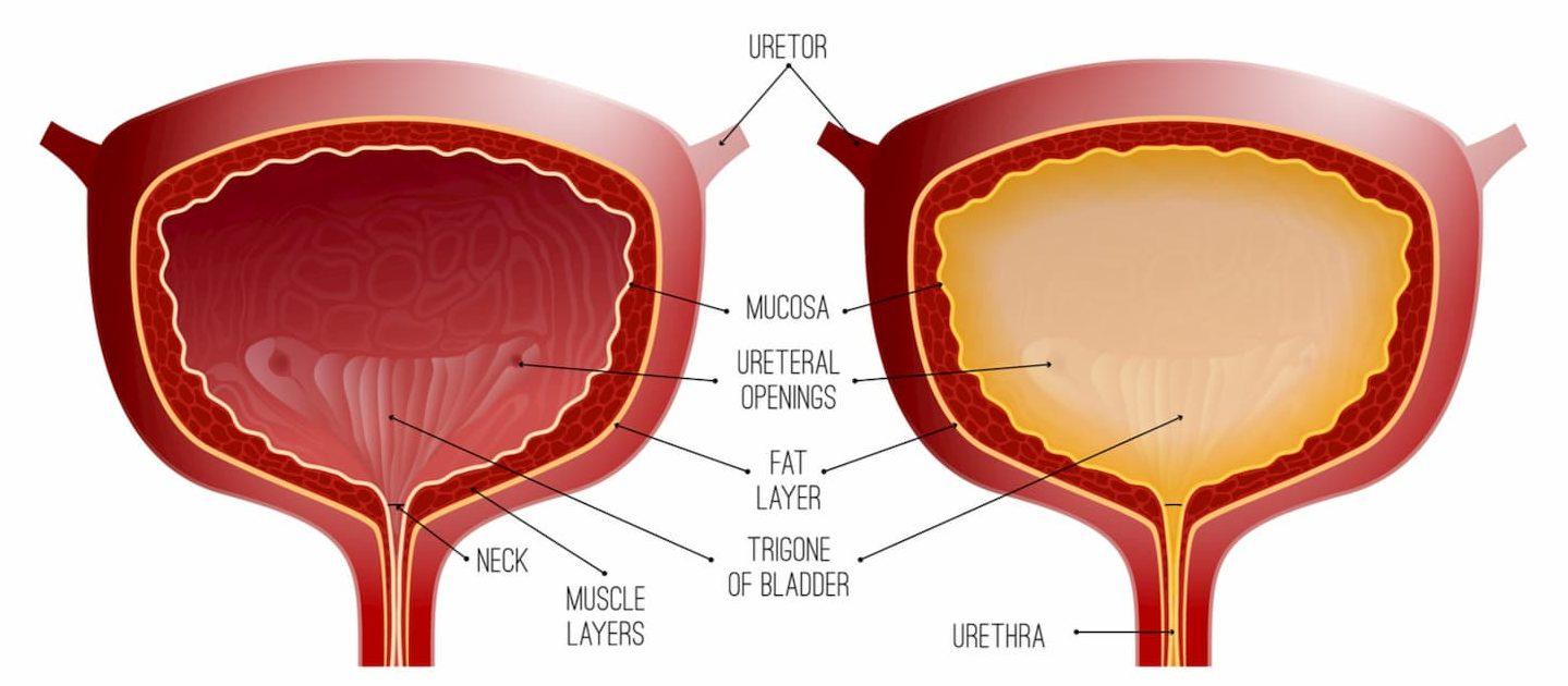 anatomie vessie